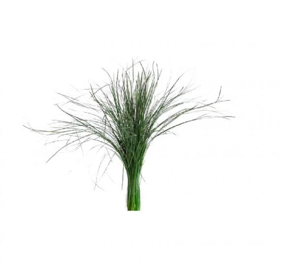 Botte de Bear Grass 50-60 cm
