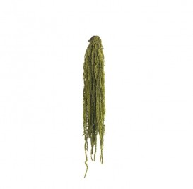 Botte Amaranthe vert amande 40-70 cm