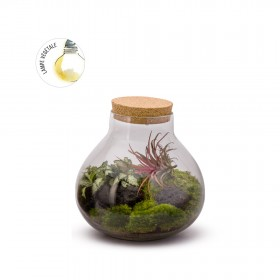 Bulle Light L Fitto Tillandsia